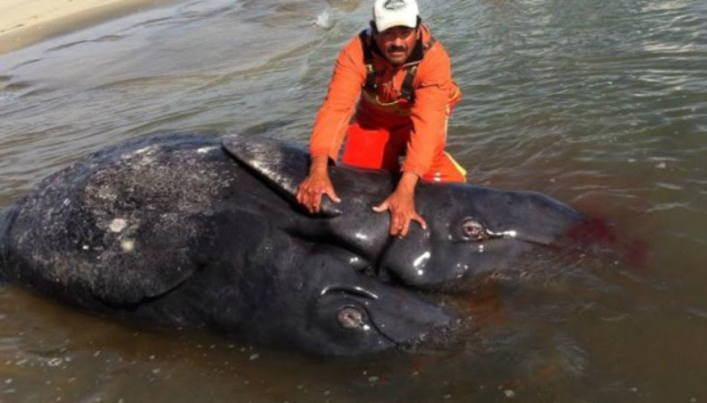 Primeiras baleias gêmeas siamesas do mundo aparecem mortas no México (Foto: Divulgação)