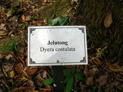 Jelutong - Dyera Costulata