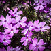 Tiny purple flowers.jpg