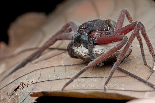 Momma huntsman spider with egg sac IMG_6020 copy