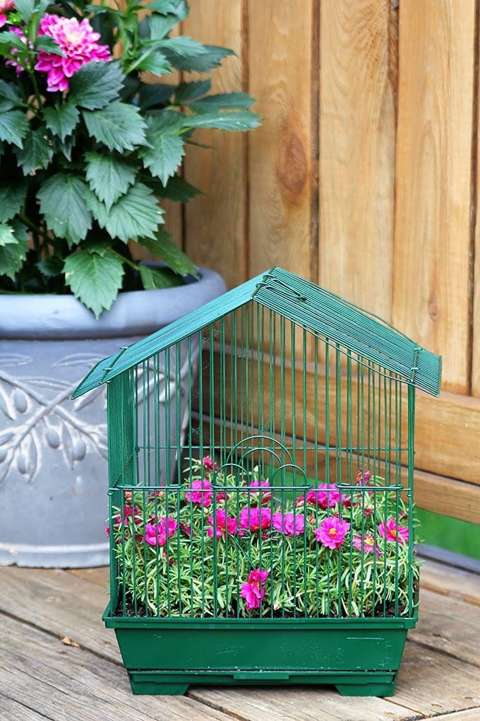 Planting flowers in a birdcage is a quick and easy DIY gardening project. This birdcage planter was repurposed from a parakeet cage found at a thrift store.