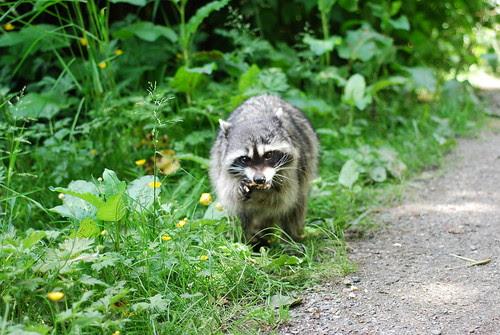 munchy raccoon