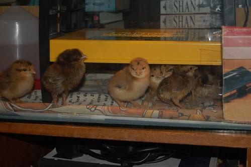 hen chick Mar 13 12