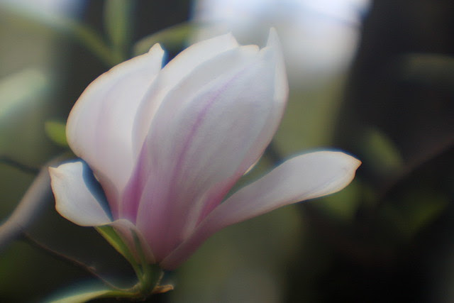 soft focus flowers (i)