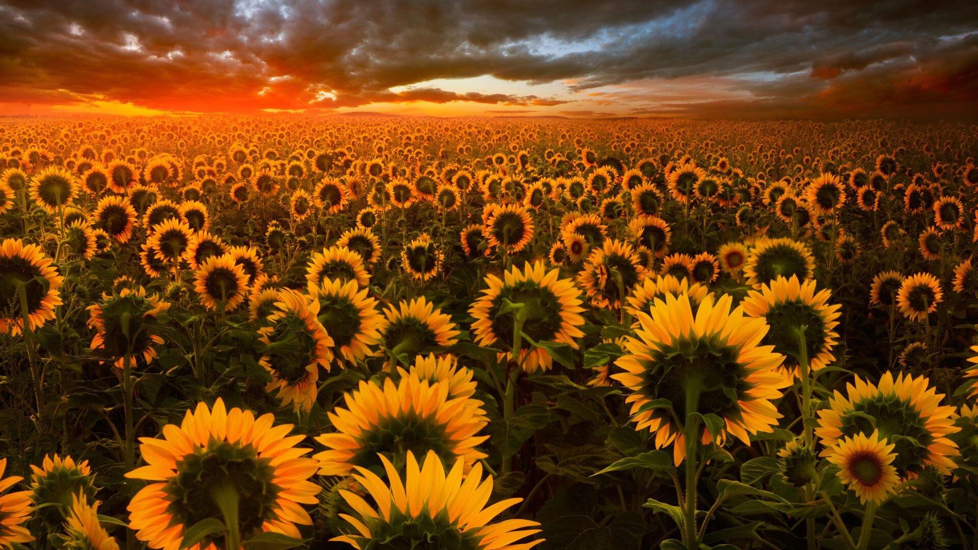 1920x1080 Sunflower Field Laptop Full HD 1080P HD 4k ...