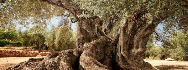 El olivo más viejo de España tiene 1.701 años y está en Ulldecona