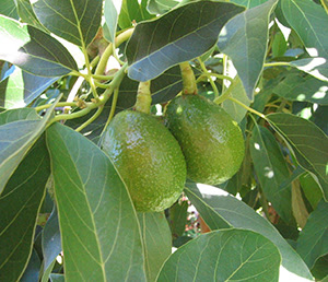 Avocado Growing Guide Edible East Bay