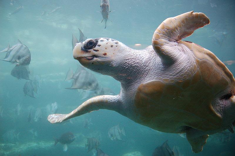 File:Loggerhead sea turtle.jpg