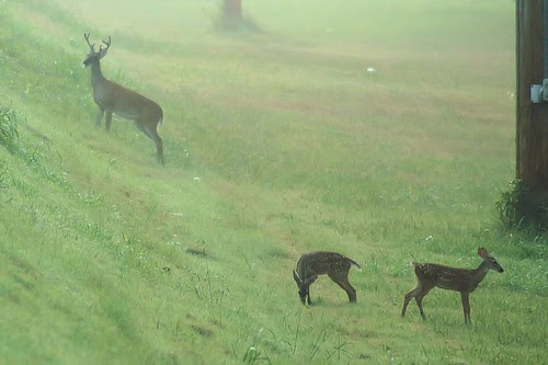 roadside buck and fawns by David P James