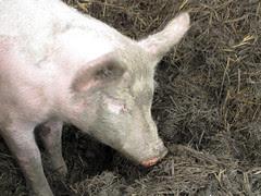 An October Farm Day! Piglet!