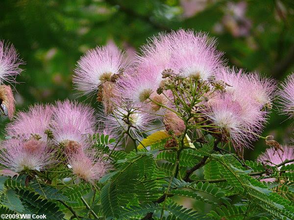 Kalkora Mimosa (Albizia kalkora)