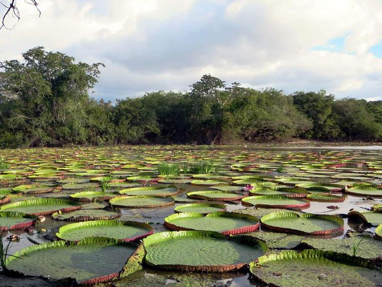 Victoria amazonica en su hábitat natural