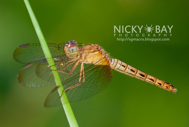Dragonfly (Anisoptera) - DSC_3510