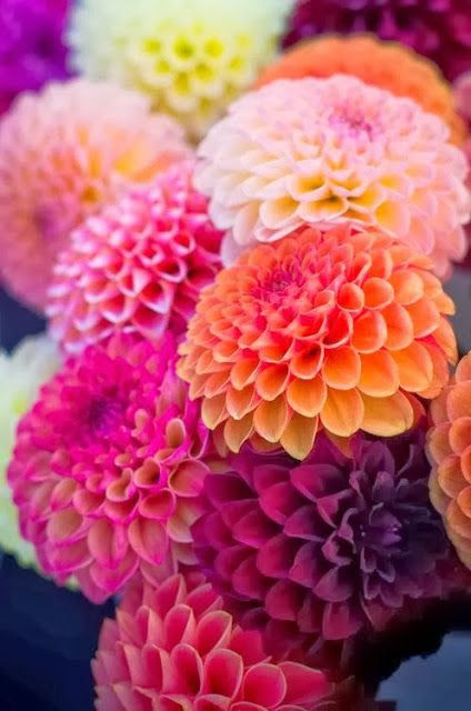 flowersgardenlove:  Dahlias-vibrant and Beautiful  FLOWERS! WHAT COULD BE PRETTIER? DAHLIAS IN CONTRASTING COLORS. PERFECT FOR A WINTER DAY. I'M TIRED OF WHITE—WHITE SNOW ,WHITE SKIES….