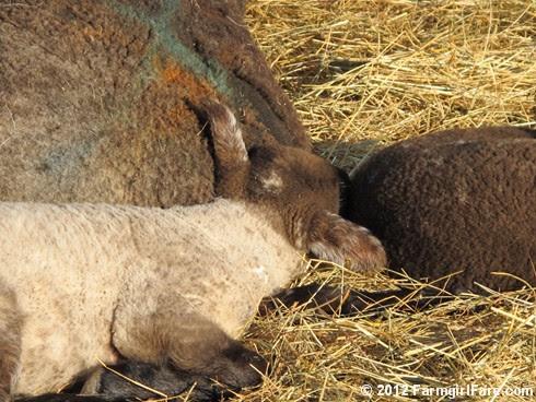 Random Lamb Snaps 15 - FarmgirlFare.com