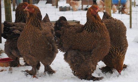 Gold brahma hens in winter