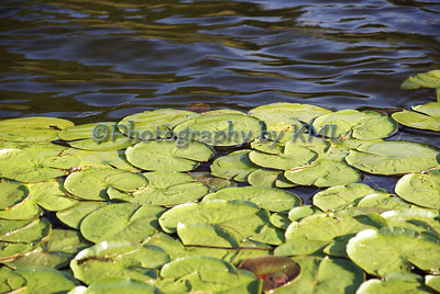 green lily pads floating in the water
