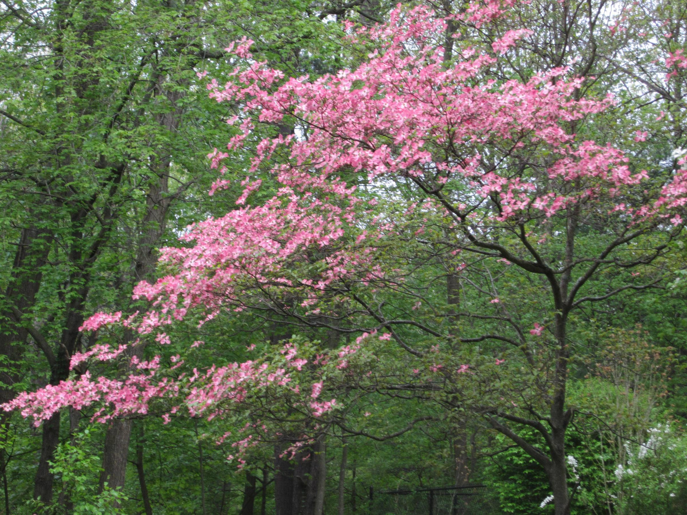 Boston Plant of the Week The Dogwood Tree