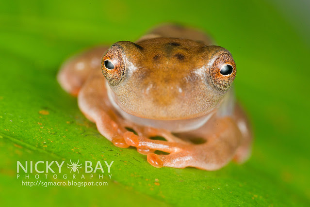 Frog (Anura) - DSC_8974