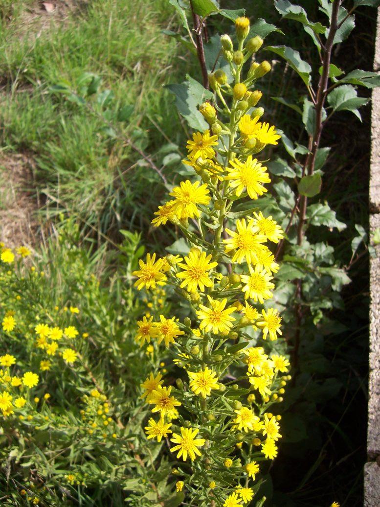 Inule visqueuse - dittrichia viscosa - Photo de fleur sauvage