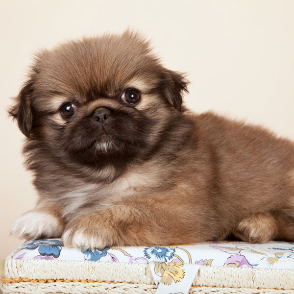 Buy Pekingese Puppies For Sale   South Canal Street, MA #309185