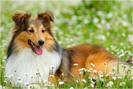 333120 As 10 raças de cães mais inteligentes 6 As 10 raças de cães mais inteligentes