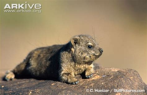 Rock hyrax videos, photos and facts   Procavia capensis   Arkive