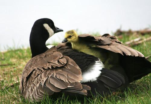 mumma & baby goose