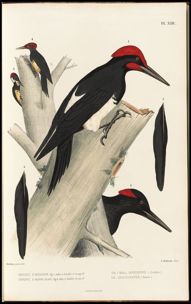 Dryocopus Hodgsonii + Leucogaser