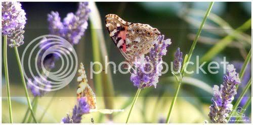 photo macro papillon belle dame lavande juillet 2009