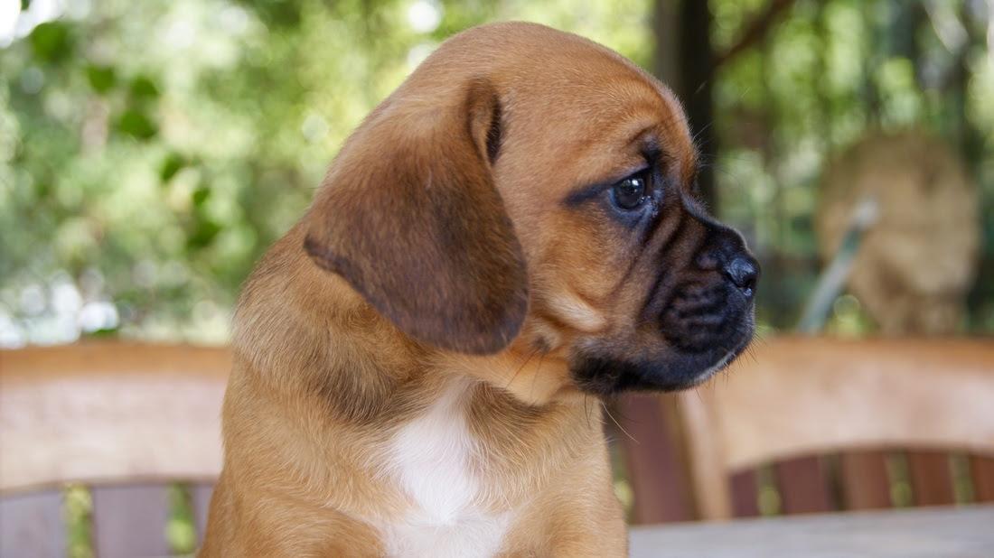 Puggles - Cottage Canines Australia