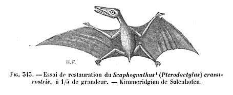 Scaphognathus crassirostris 1890