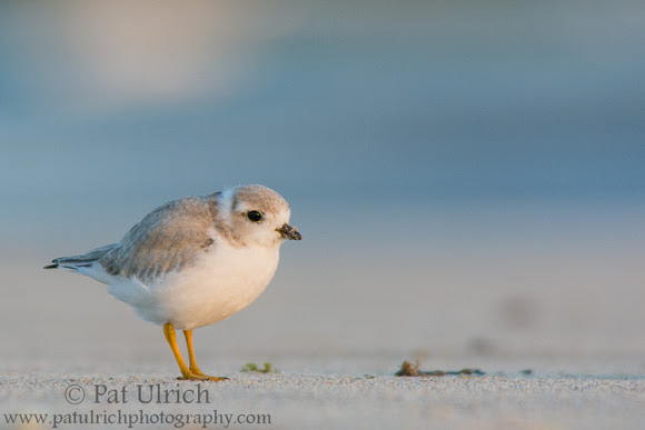 Photograph of a piping plover fledgling at Sandy Point State Reservation