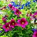 Blomsterprakt - Midtbyen