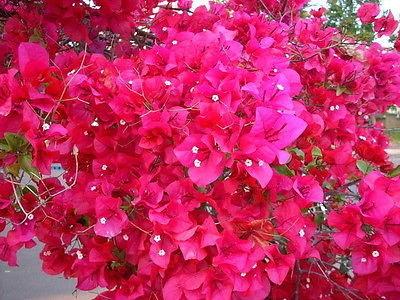 Bougainvillea Doesn T Bloom Hort Coco Uc Master Gardener Program Of Contra Costa Anr Blogs