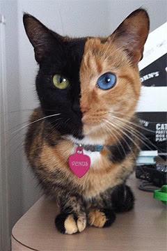 Cat Videos Venus The Chimera Cat Cute And Funny Cat Videos Cat