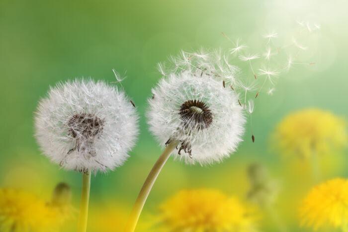 Dandelion Flower Meaning Flower Meaning