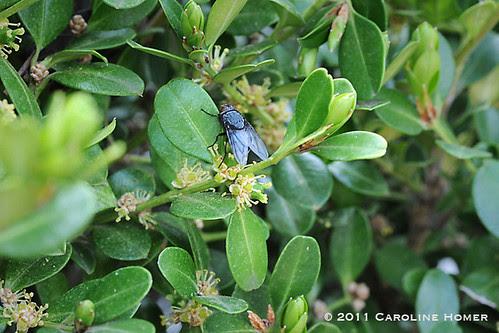 Black fly on boxwood