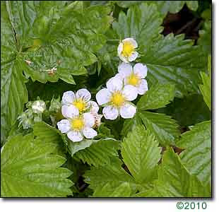 Fragaria_alpina2
