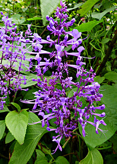 http://www.anniesannuals.com/signs/p%20-%20r/images/plectranthus_ecklonii_new.jpg
