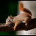 red.squirrel.sleepy.c.crawford