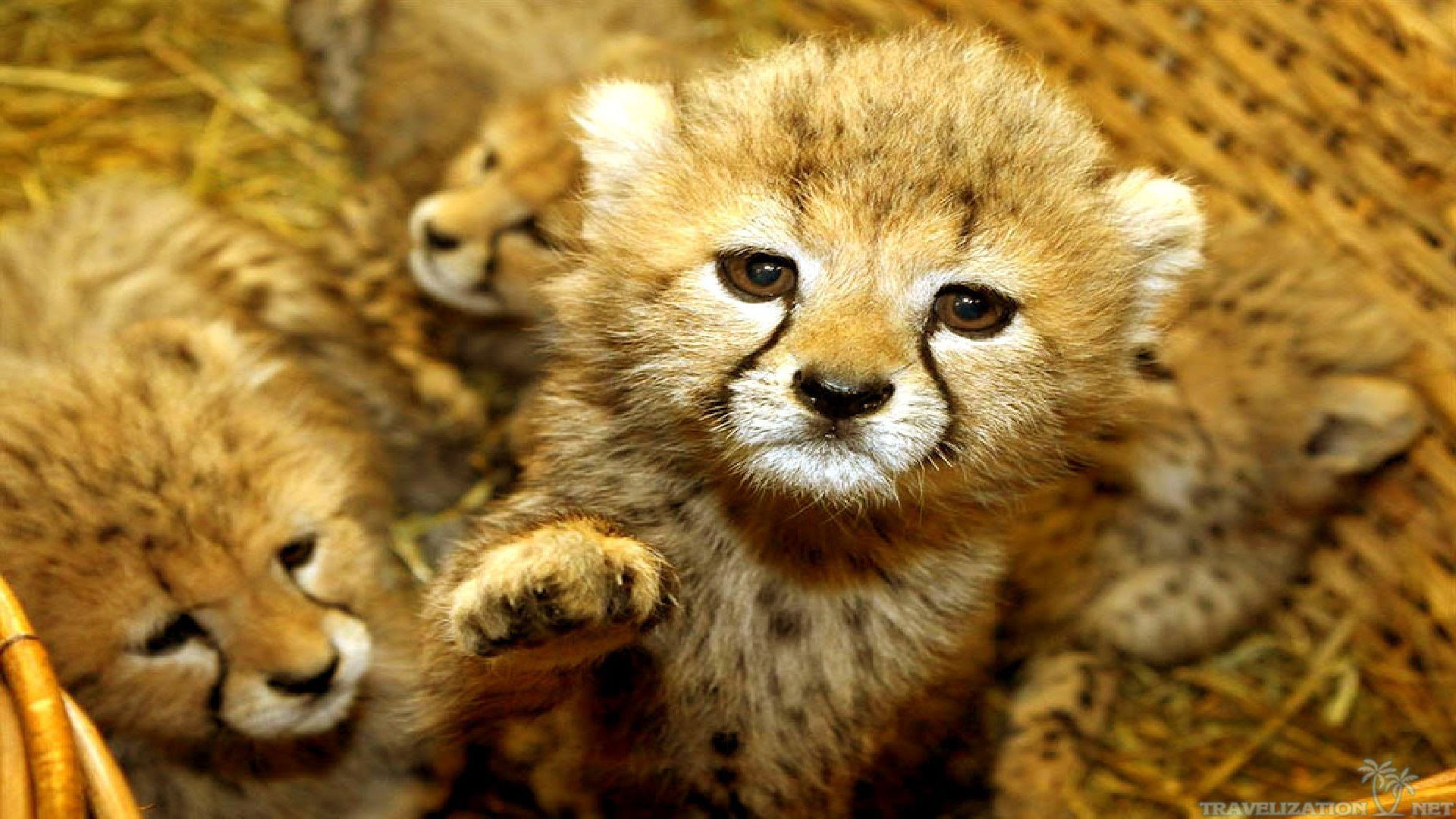 World Top 10 Wallpaper 53 Baby Animals Cute Sweet Tiget Wallpaper With 1920x1080