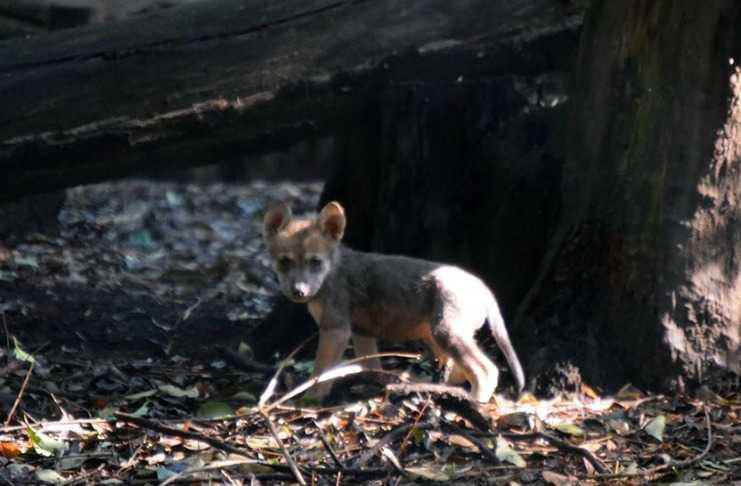 Cachorros Lobo Mexicano En El Zoológico Los Coyotes