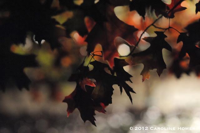 Oak leaves at night