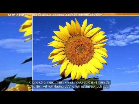 Tìm hiểu ý nghĩa của Hoa Hướng Dương
