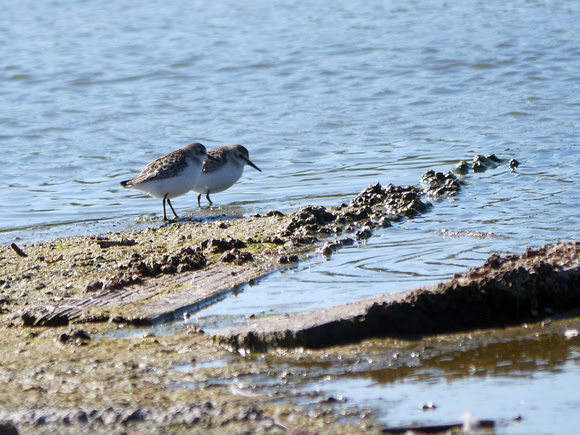 Ed Gaillard: birds &emdash; Sanderlings, Jamaica Bay