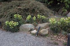 Hellebores, Rock Garden