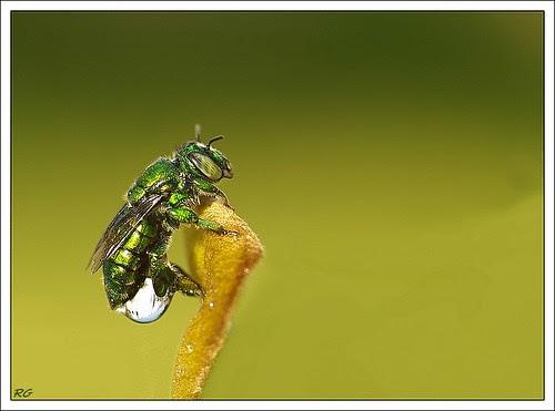 Acanthopus Palmatus