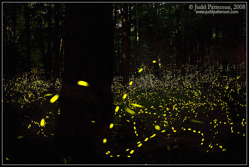 Delayed exposure of fireflies in Great Smoky Mountains National Park. Photinus carolinus fireflies.