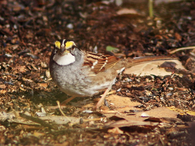 White-throated Sparrow 2-20131105